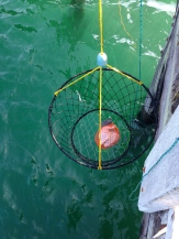 Using chicken for bait (that's chicken in the orange mesh bag inside the trap)