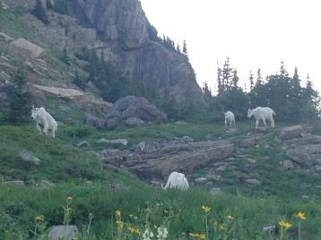 Wild Mountain Goats!