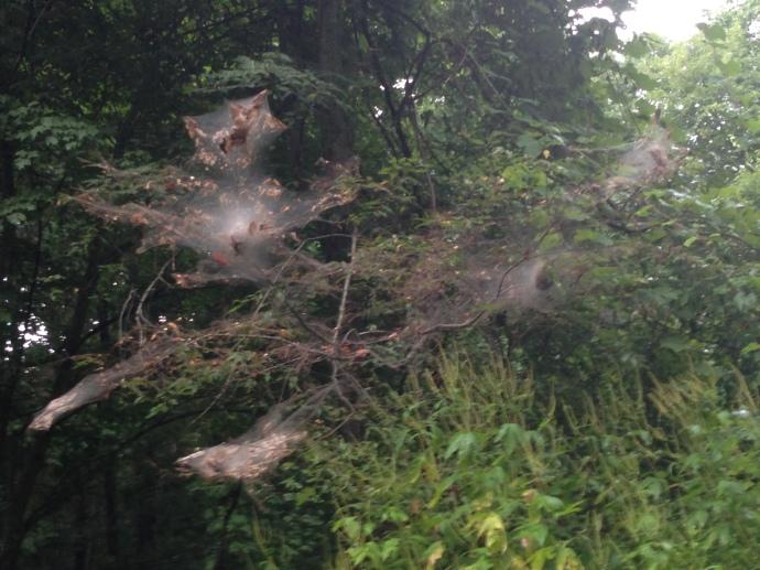 Massive spider webs!