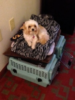 Saucy was over staying in hotels too and was ready to go! :)